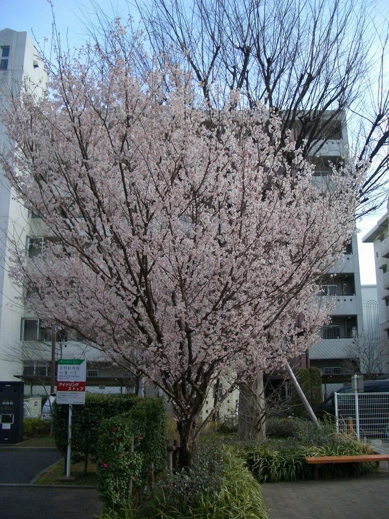 http://www.shintoko.jp/engblog/archives/images/2007/03/070322_higansakura01.jpg