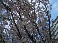 070322_higansakura02.jpg
