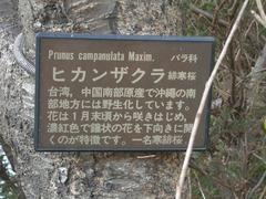 070322_higansakura03.jpg
