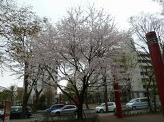 110409_sakura135.jpg