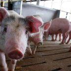 ポーランドトピックス「豚に食べられた養豚家!」